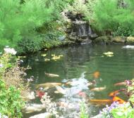 big koi pond
