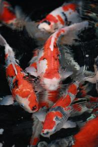 Some stock from  Japanese koi breeder Koda