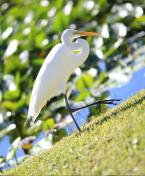 Egret in the florida everglades